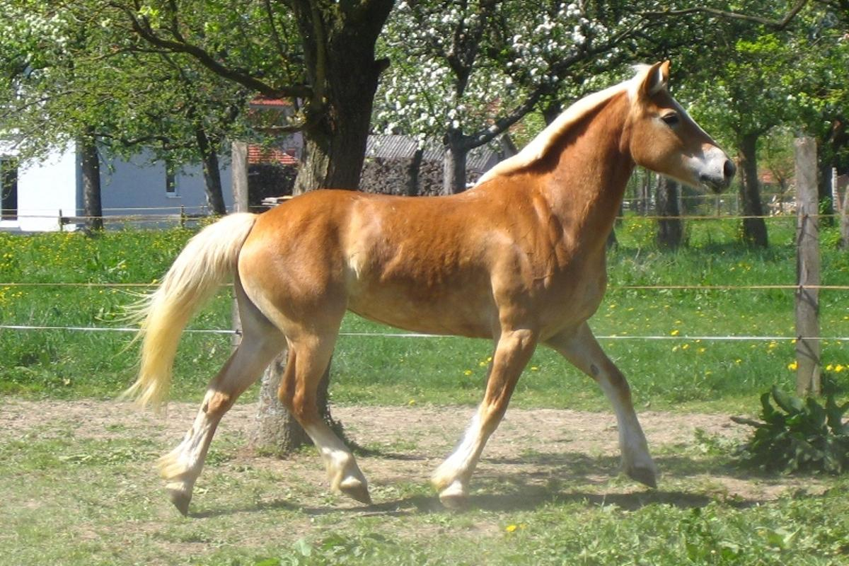 Scientists from have generated pluripotent stem cells from horses for the first time (Photo: Haflingermaus)