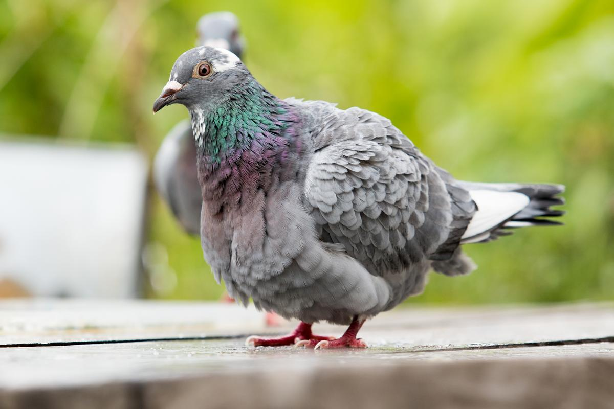 A recent research project found that homing pigeons like to fly in pairs when they can, despite it costing them more energy