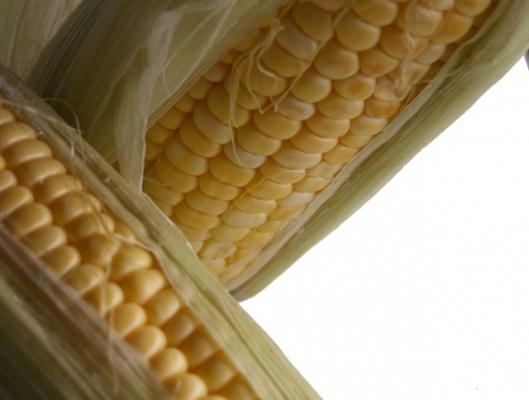 New research stirs corn-ethanol debatePhoto: Noel McKeegan