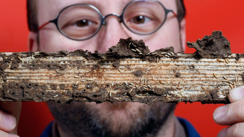 Mike Scharf's work with termites has shown that the insects' digestive systems may help break down woody biomass for biofuel production (Image: Purdue Agricultural Communication photo/Tom Campbell)