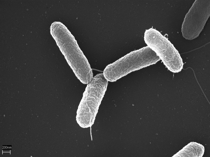 Scientists have used Salmonella bacteria (pictured) to eliminate viruses in mice (Photo: Volker Brinkmann, Max Planck Institute for Infection Biology)
