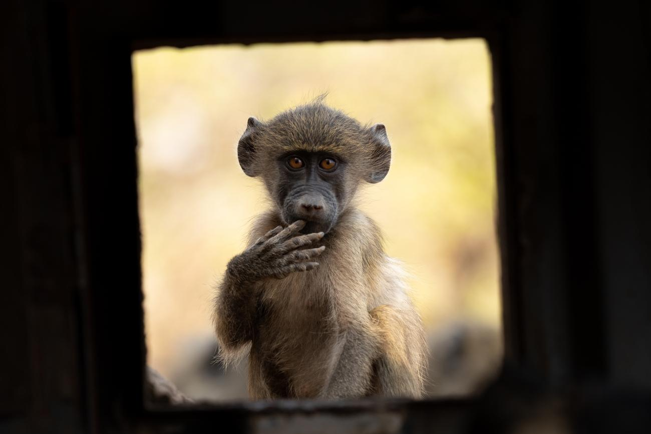 Honorable Mention, Under 20. 'Curiosity', a young baboon looks through a porthole in a photographic hide