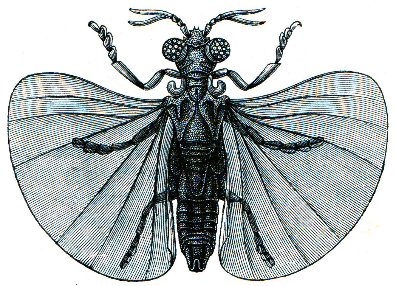 An 1896 illustration of Xenos peckii