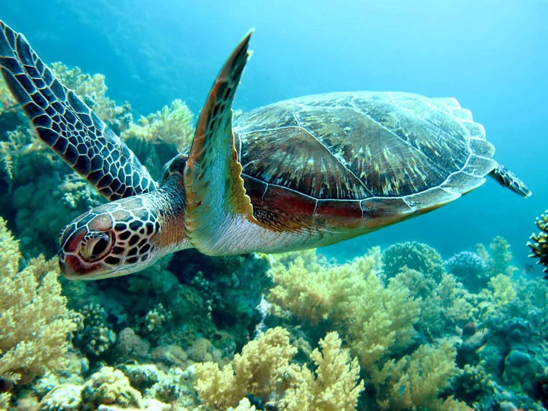 A new study has found microplastics in the guts of 102 sea turtles
