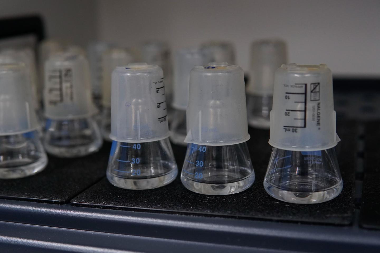 Phages, both trained and untrained, are pitted against bacteria in flasks in the lab