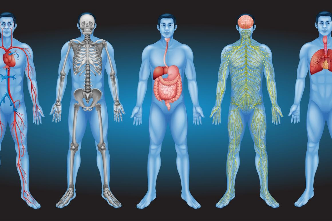 A newstudy suggeststhe interstitium could be an entirely new human organ