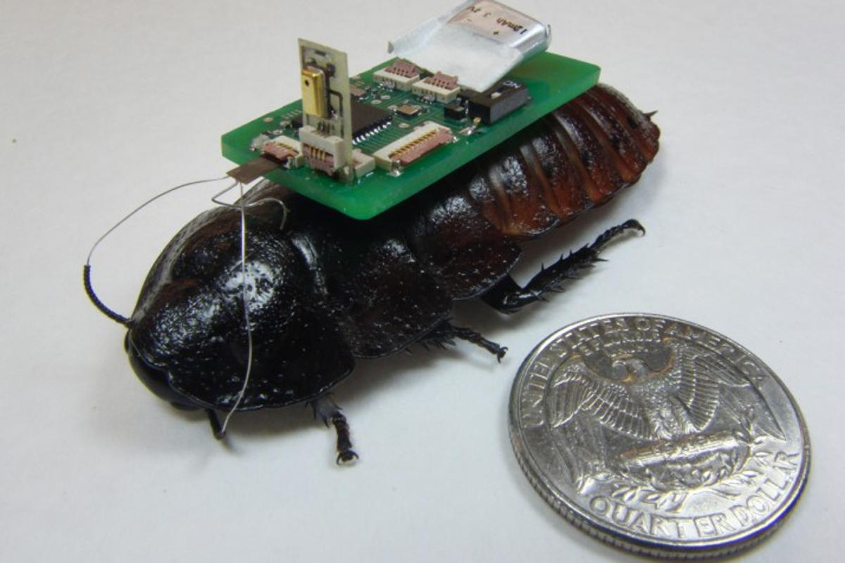 One of the mic-bearing NCSU biobots