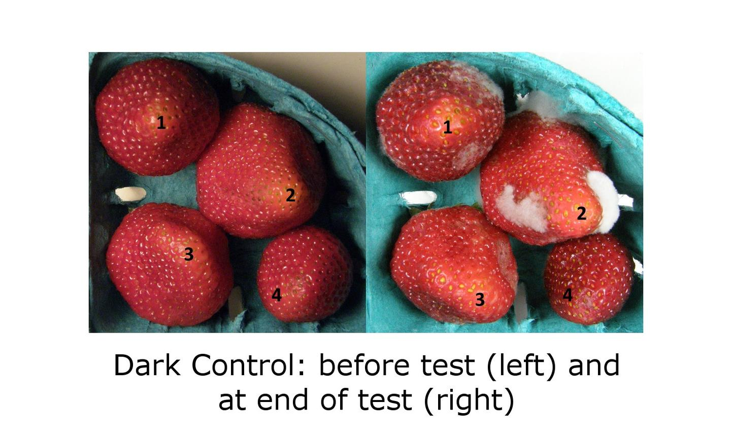 Status quo: the control group of strawberries grow rot and mold