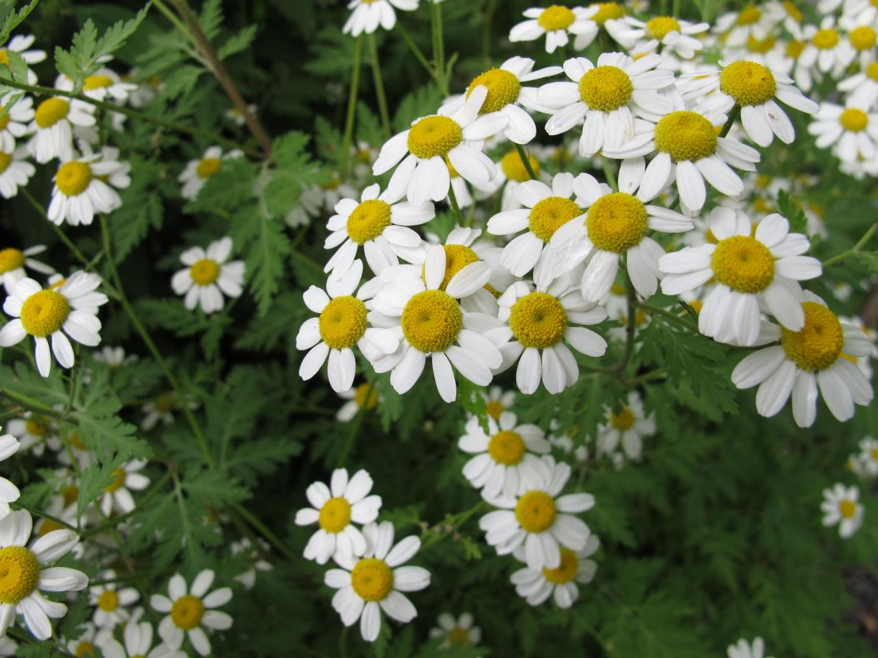 The common flower Feverfew has been found to host an anti-cancer compound