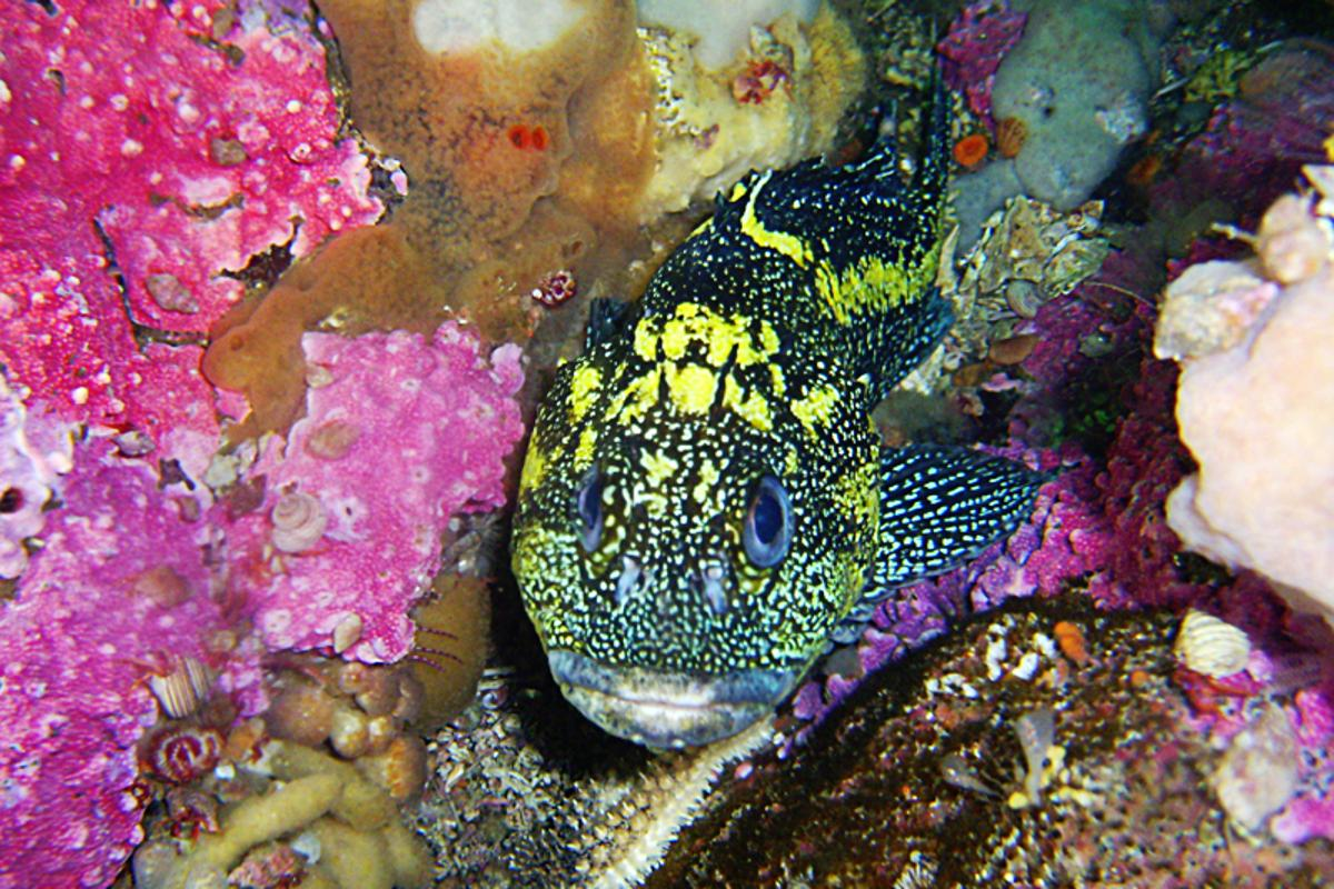 NEPTUNE Canada: A rock fish at Folger Pinnacle