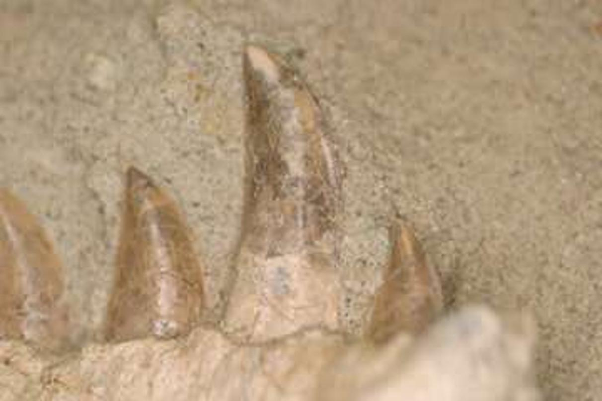 The teeth of Majungasaurus crenatissimus from the Late Cretaceous of Madagascar
