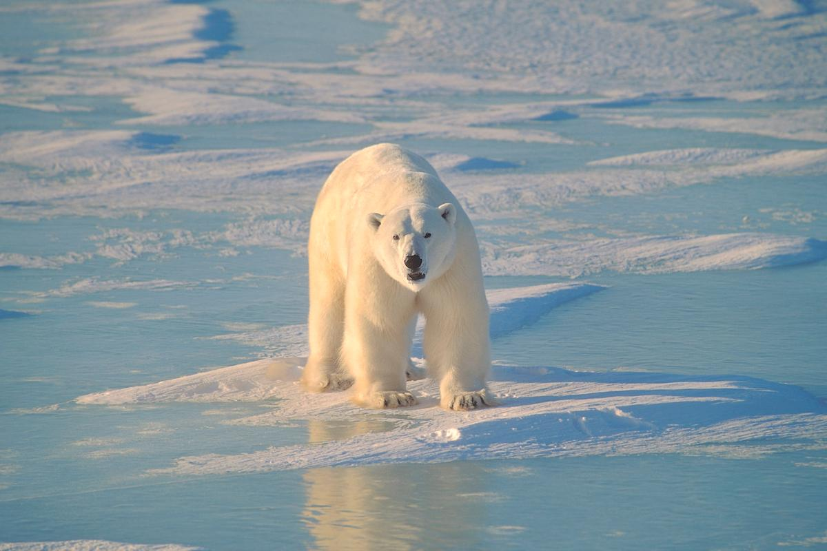 A new study examining the relationship between sea ice loss in the Arctic and polar bear survival offers a dire outlook for the species