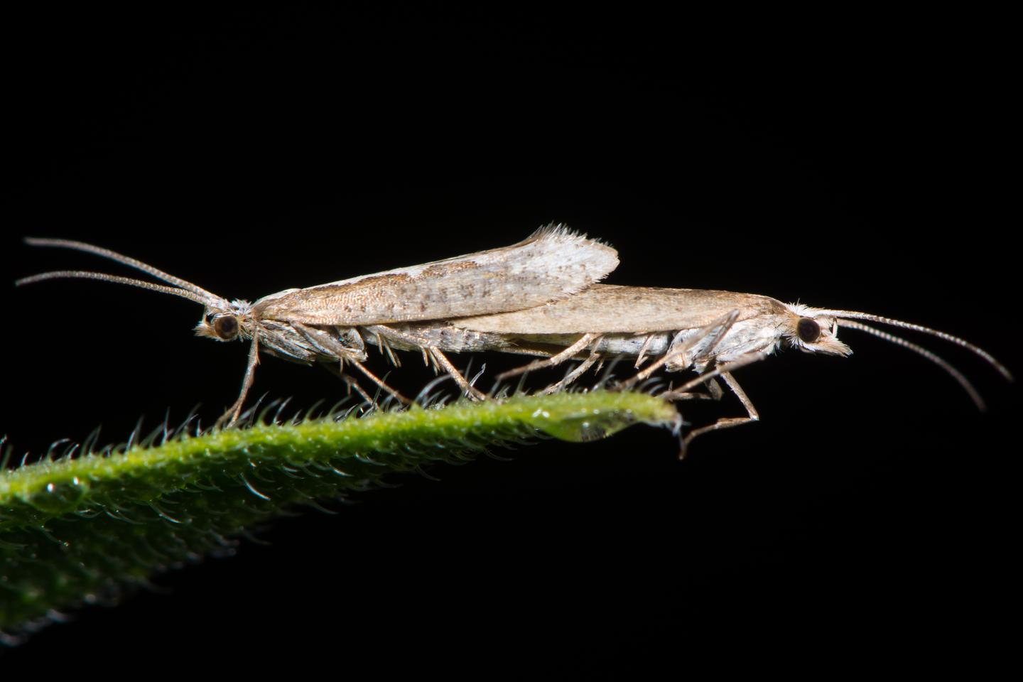 A mating pair of diamondback moths (Plutella xylostella) – the genetically-modified strain is commercially known as the Friendly moth