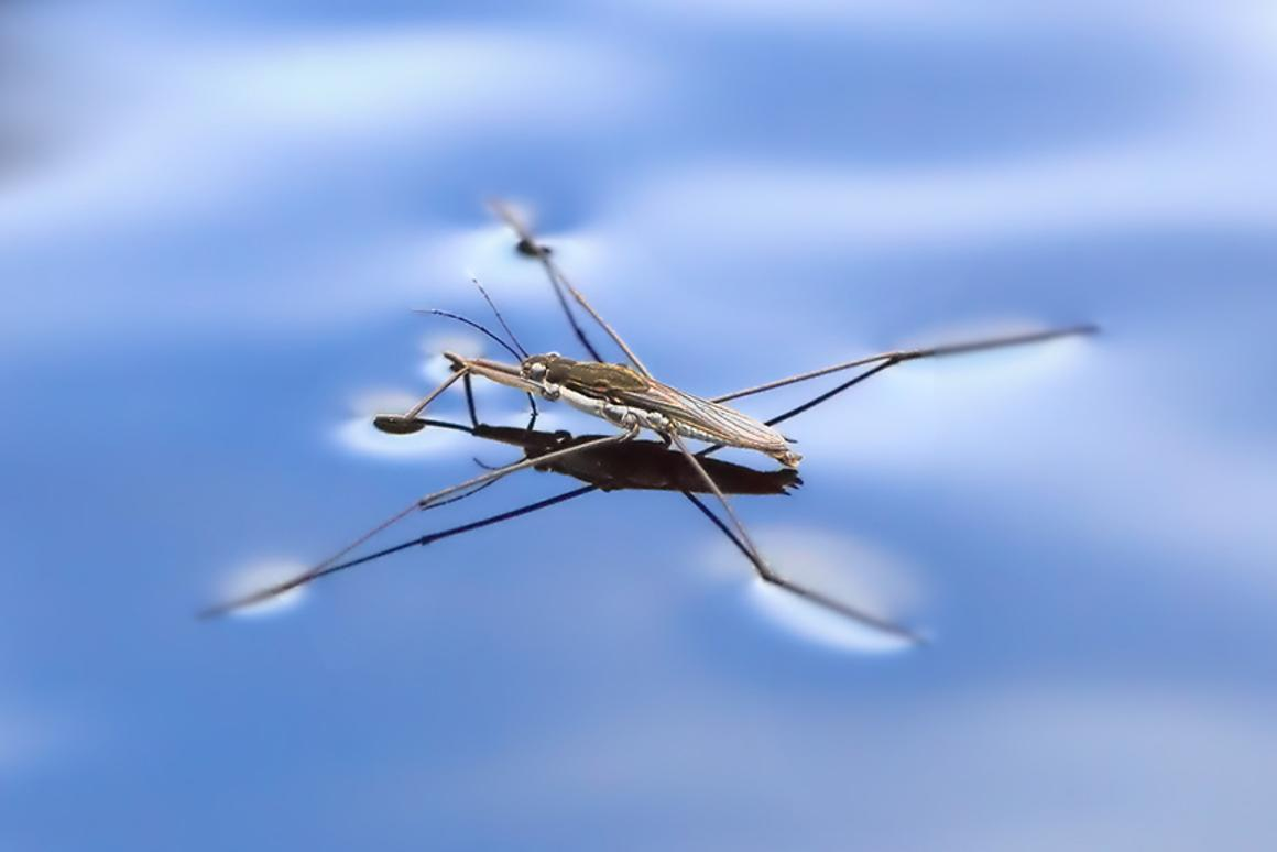 A newly developed microbot inspired by the water strider (pictured) jump across the water surface without sinking (Photo: Shutterstock)