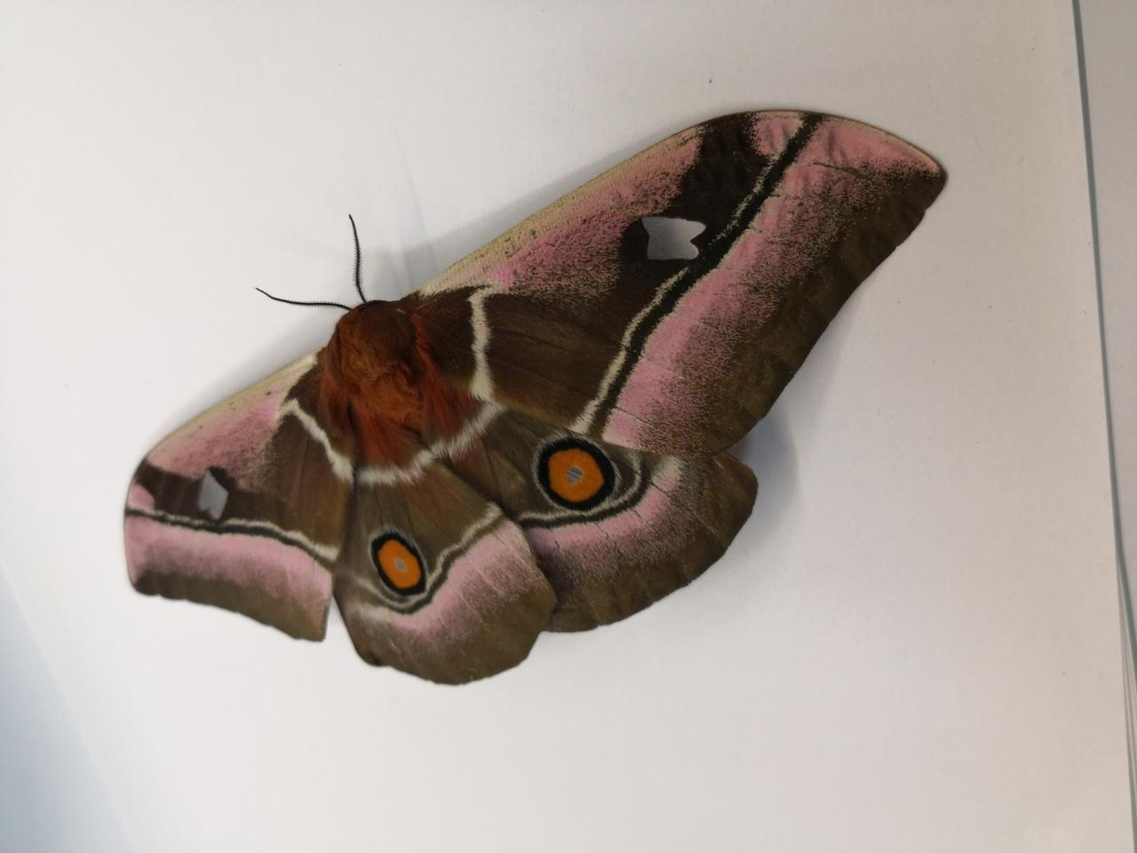 A Cabbage Tree Emperor moth (Bunaea alcinoe), one of the species used in the research