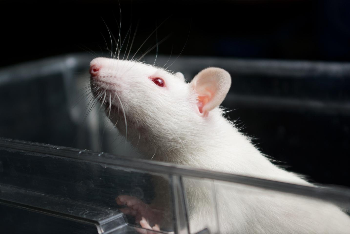 Buzzing the brain keeps rats from increasing their heroin intake
