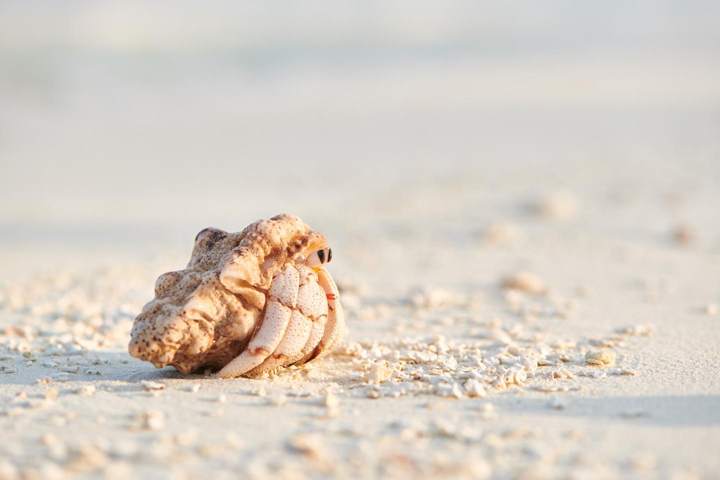A study on the impact of plastic pollution on hermit crabs has found they may suffer impaired cognitive ability as a result