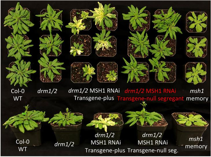The variety in types of growth represent the differences between memory and non-memory plants