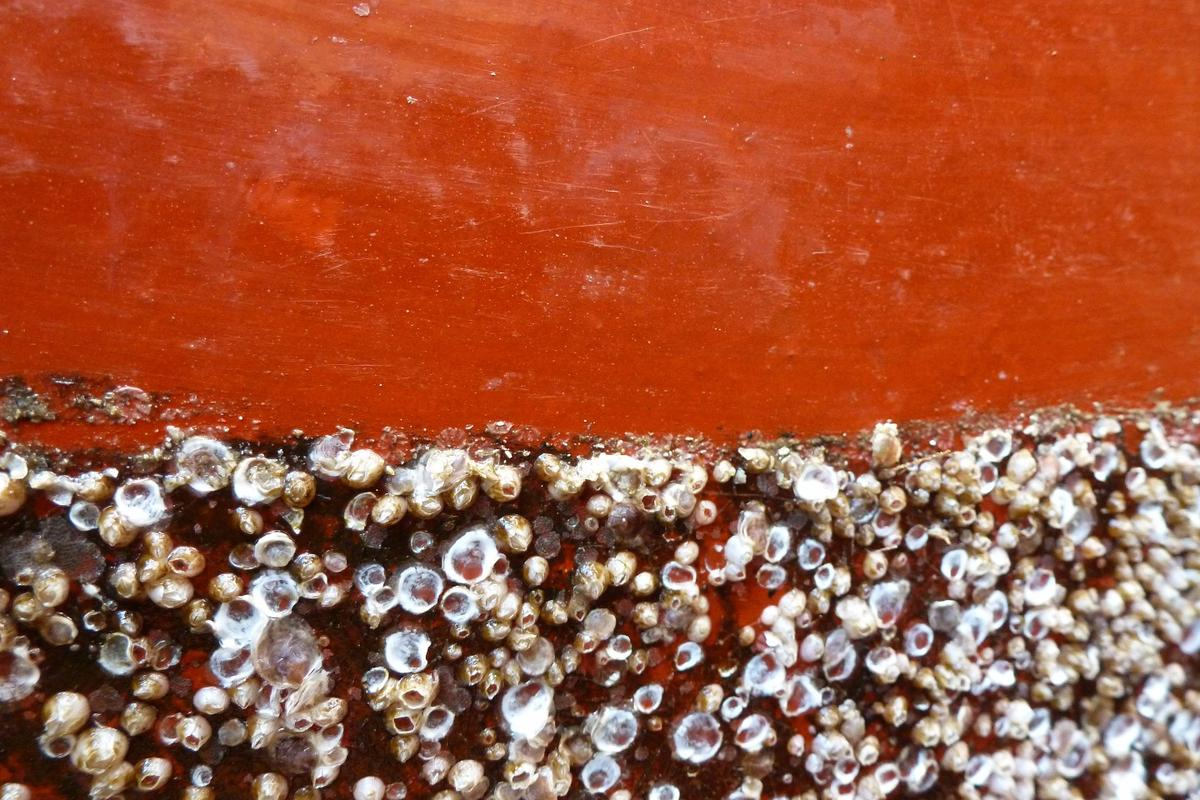 Biofouling organisms are easily brushed off of the new paint