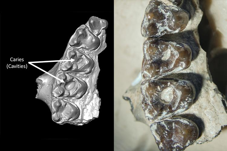 Micro-CT scans of ancient fossils have revealed the oldest-known mammal cavities