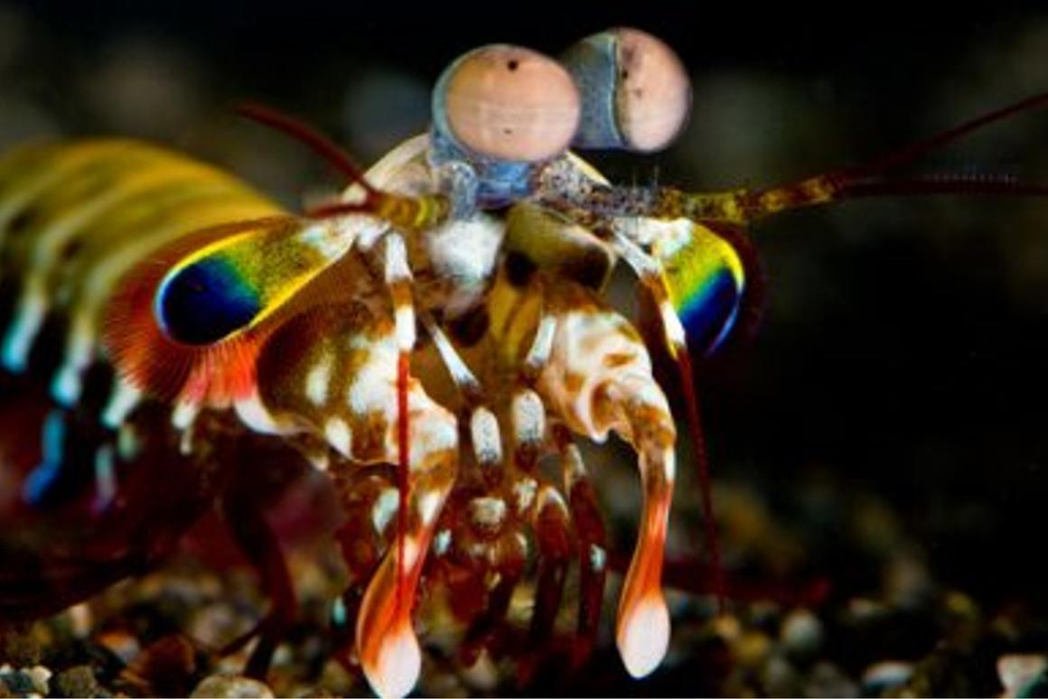 The complex eyes of the mantis shrimp are inspiring new cameras that can detect cancer and visualize brain activity (Photo: Roy Caldwell)