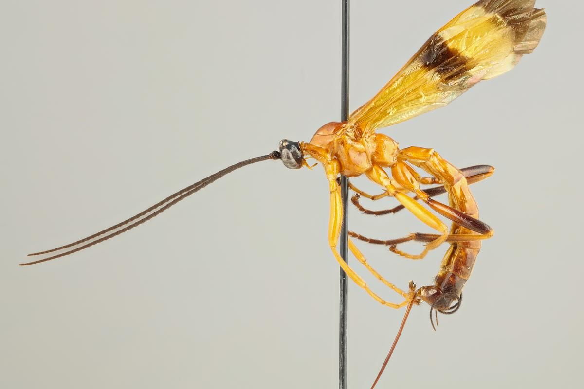 15 new species of Acrotaphus wasps have been discovered, which prey on spiders