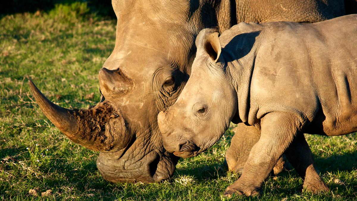 Endangered White Rhinos such as these could soon be getting some protection from an aerial drone (Photo: Shutterstock)