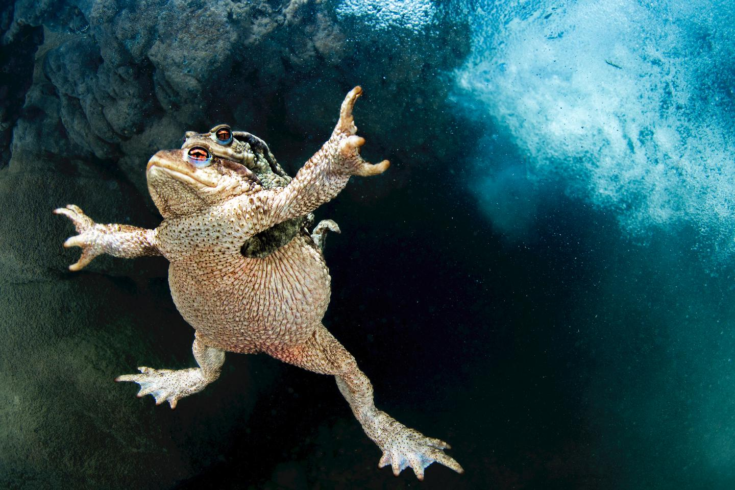 Aquatic Life Finalist. 'Hold on Tight'. A male common toad (Bufo bufo) beneath a small waterfall in France's Lez River