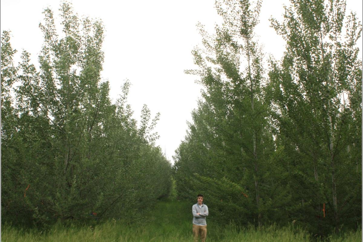A multi-year study has shown that poplar trees can be genetically-modified to be sterile, meaning the GMOs can't propagate outside of designated farms