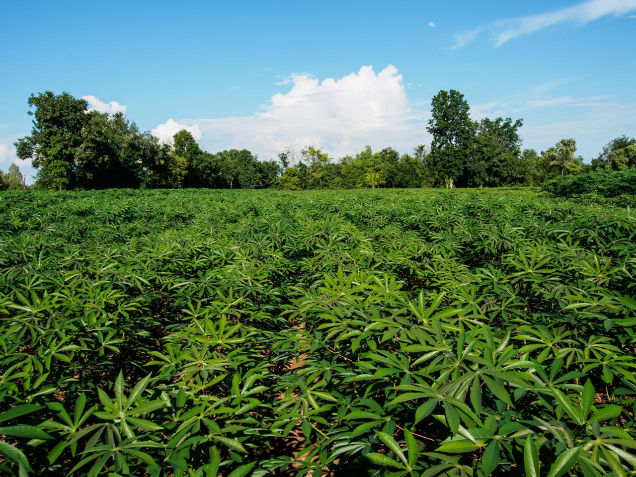 Crops such as cassava could benefit from the technology