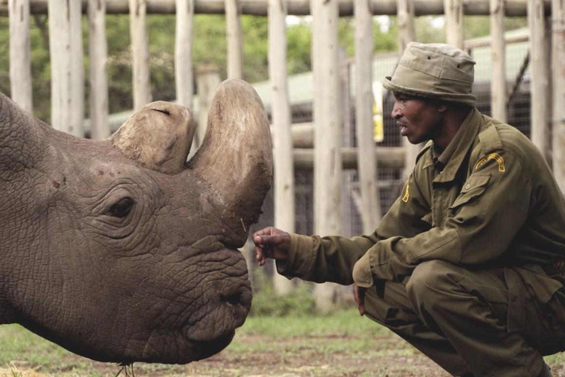 In December last year, Sudan, the last male northern white rhino,developed age-related wounds, infections and degenerative changes to his muscles and bones
