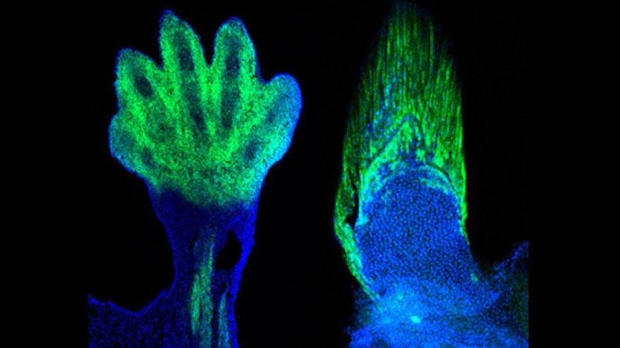 """Research has shown that the wrists and fingers of tetrapods like the mouse at left are """"the cellular and genetic equivalents"""" of the fin rays in fish"""