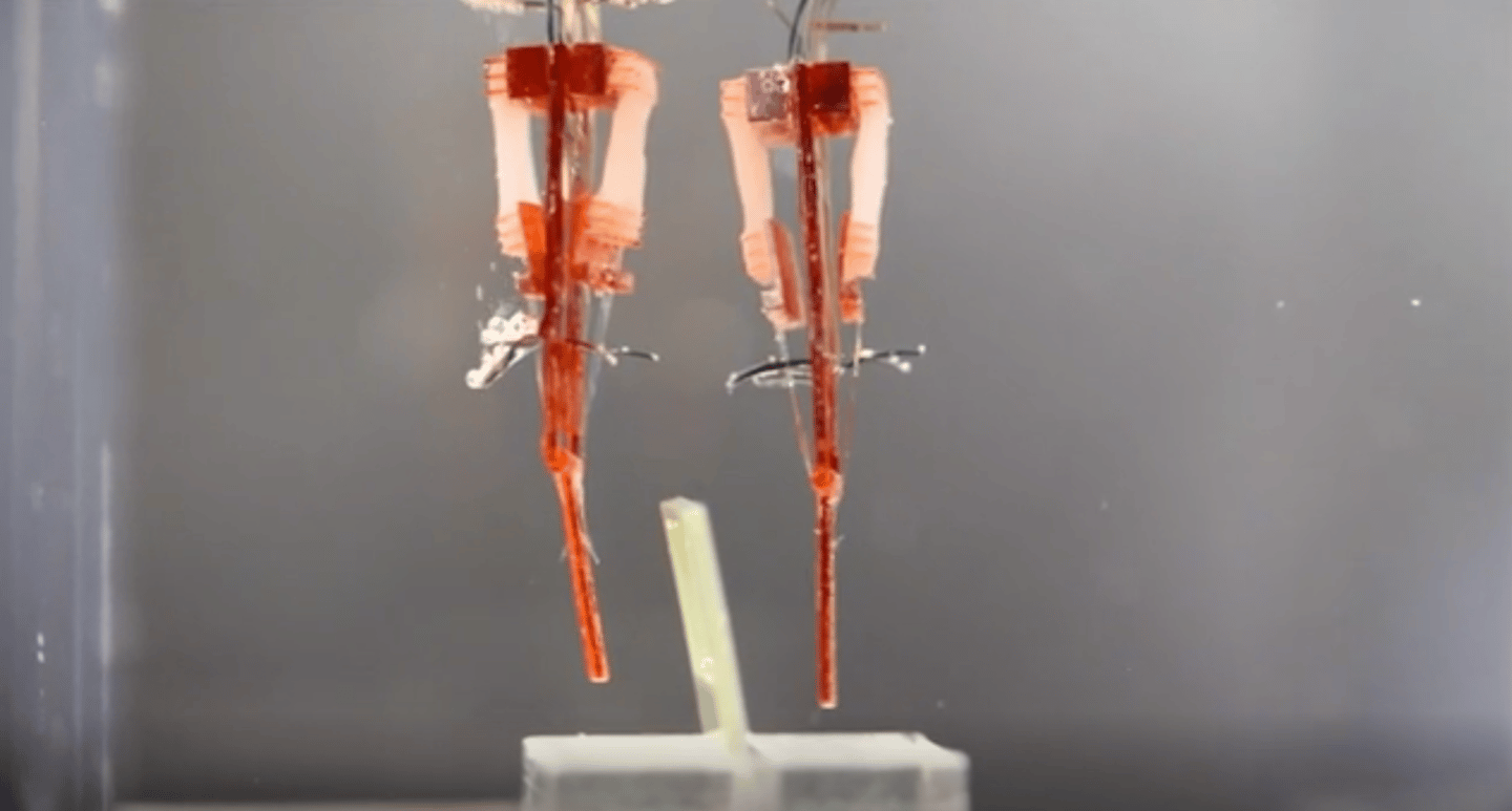 Japanese researchers have developed a way to integrate living muscle tissue into robots