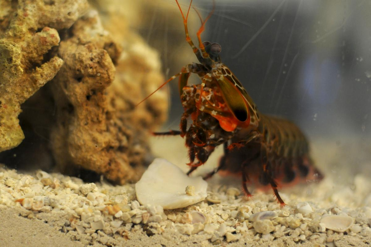 The peacock mantis shrimp has a punch like a .22 bullet (Photo: Carlos Puma)