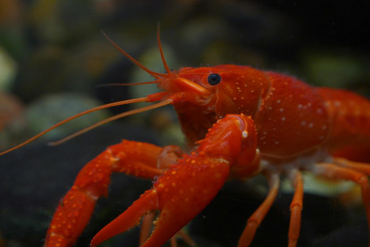 New research has found a species of lobster that grinds plastic waste into smaller microplastic particles