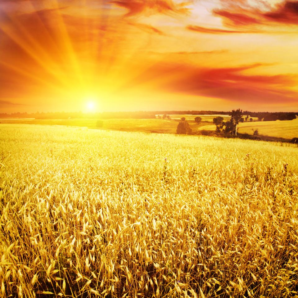 A new study has concluded that sunshade geoengineering is more likely to improve crop yields than threaten them (Photo: Shutterstock)