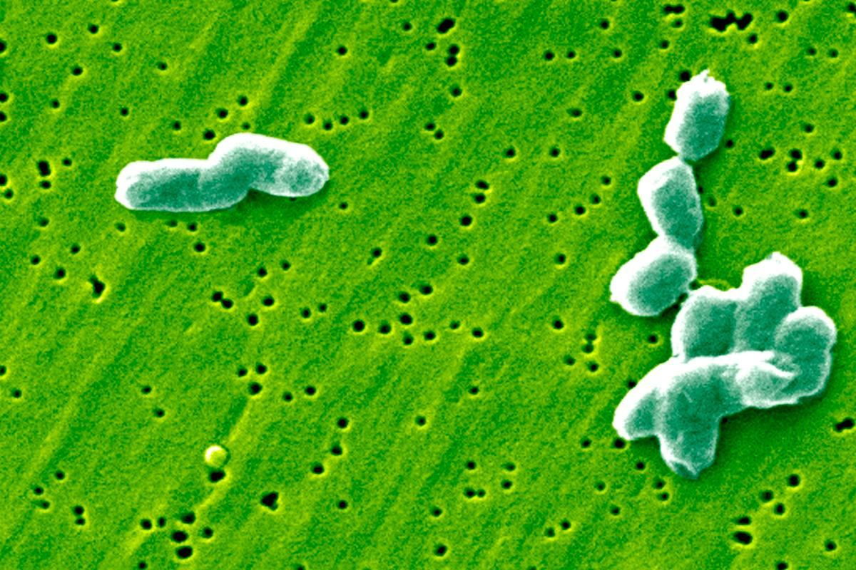 A specific type of gut bacteria has been found to produce a compound that inhibits the ability of Salmonella to replicate inside the stomach