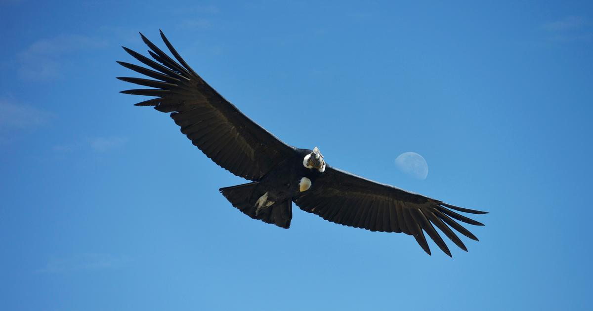 Study Finds Andean Condors Can Soar 100 Miles Without Flapping