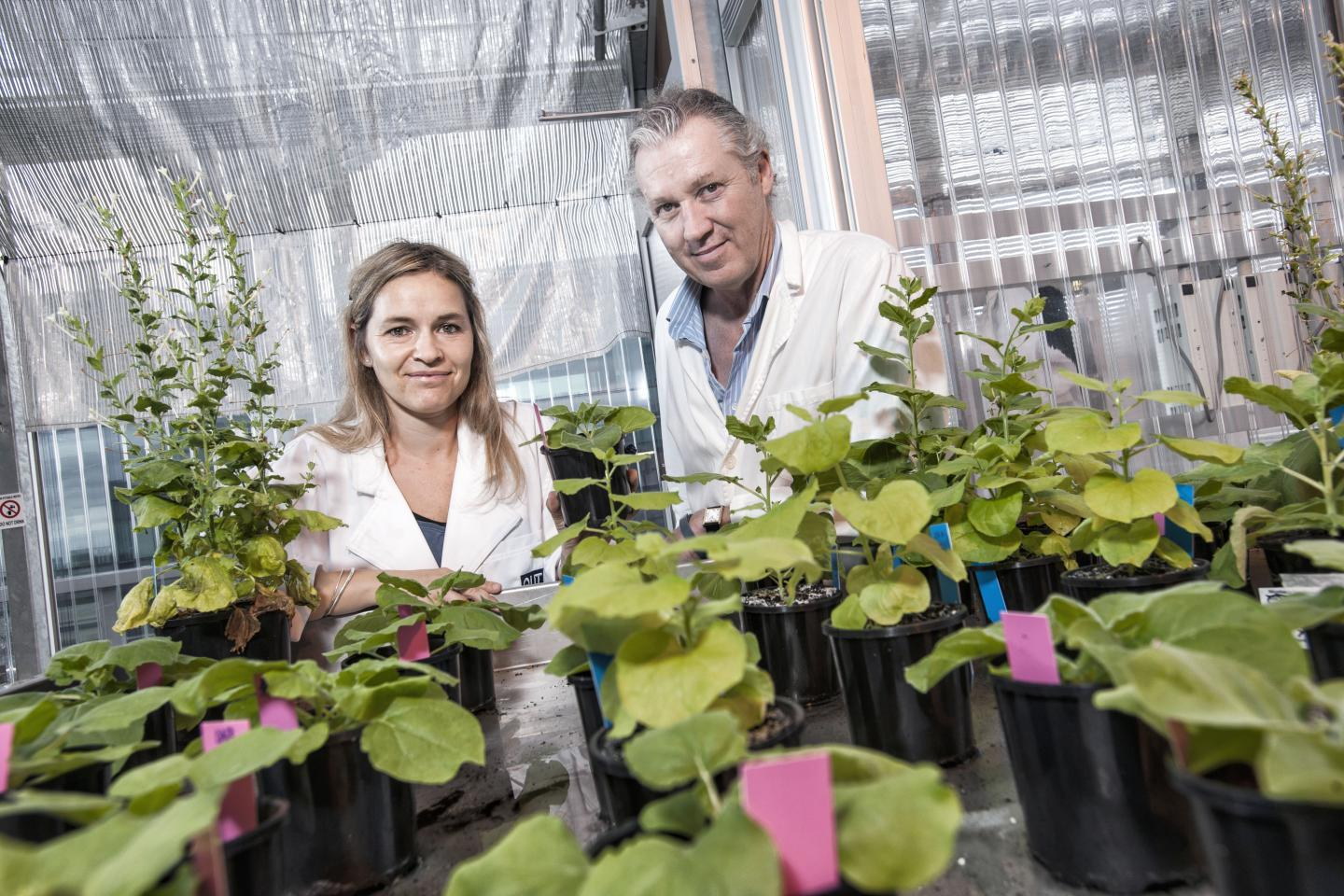 "QUT researchers Dr Julia Bally and Professor Peter Waterhouse with the ""magic"" ancient Australian native tobacco plant that could help grow crops in space"