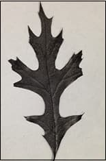 The leaf was baked at high temperatures to leave only the carbonised structure behind