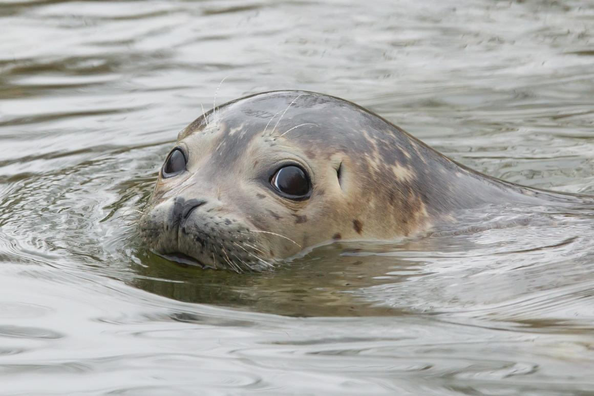 The feces of grey seals has revealed new insights about the way ocean plastics can move through the food chain