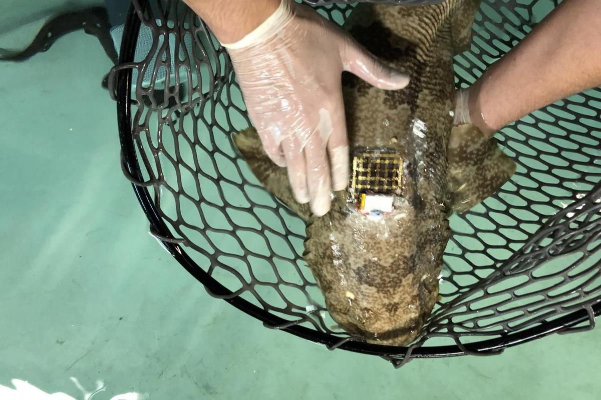 Marine Skin may replace more awkward, invasive tagging systems