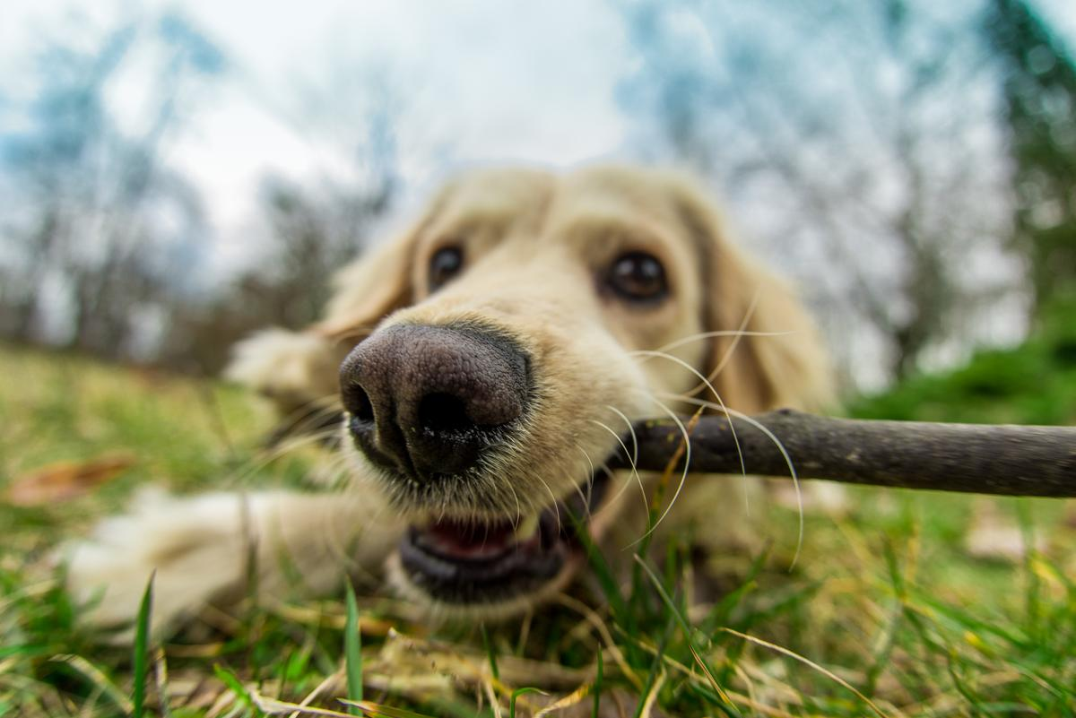 A new study has revealed that dogs can sense radiant heat using their noses