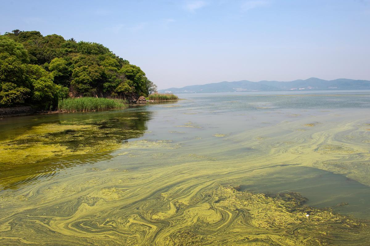 An algal bloom in China's Taihu lake