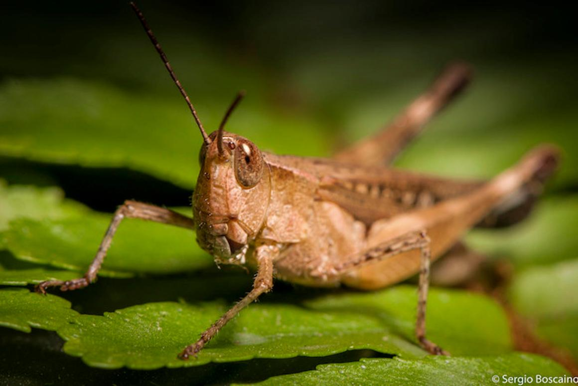 Researchers plan to use remote-controlled, biorobotic locusts like bomb-sniffing dogs