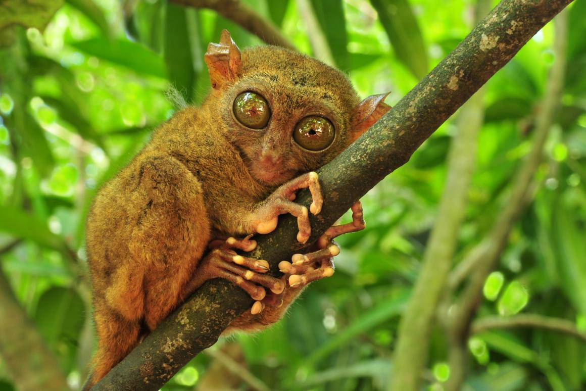 A quarter of the world's species are under threat of extinction. This tarsier appears to think he could be one of them.