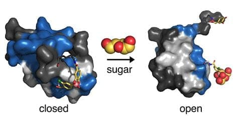 """Scientists have designed a """"synthetic hinge"""" for insulin that responds to sugar in the blood"""