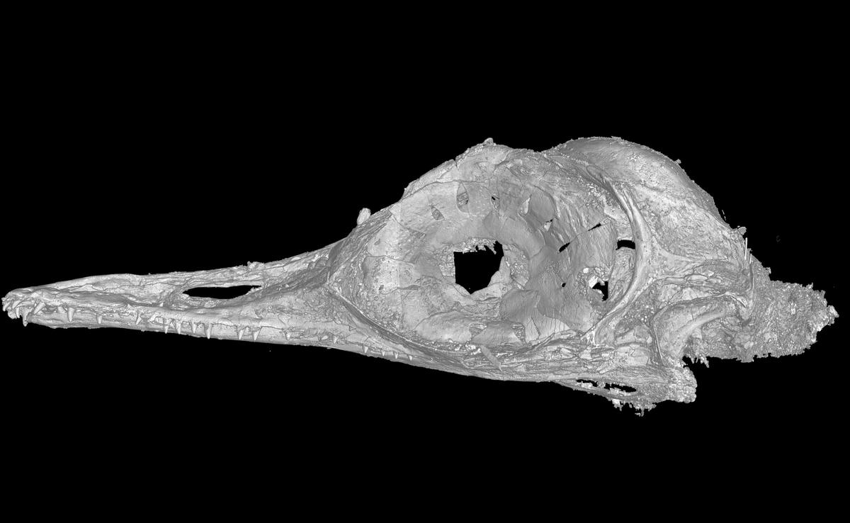 A CT scan of the skull of Oculudentavis, which means eye-tooth-bird, so named for its distinctive features