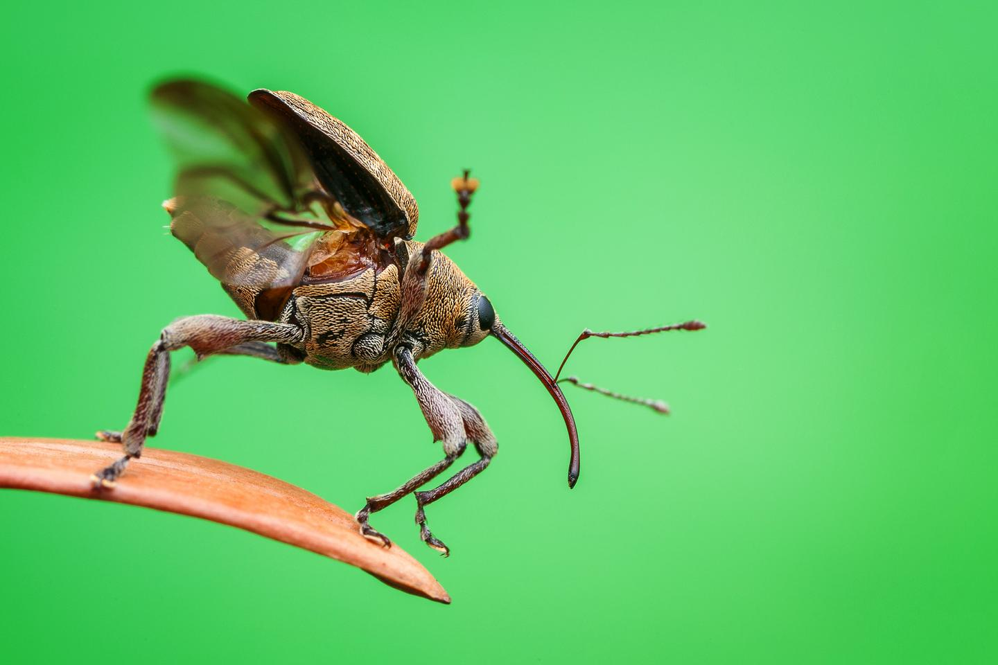 An acorn weevil prepares for takeoff