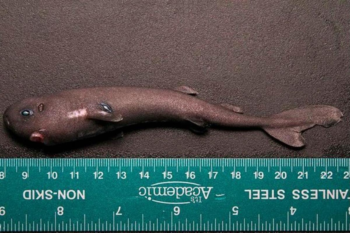 The single American Pocket Shark specimen was collected by the NOAA ship Pisces, during a mission to study sperm whale feeding